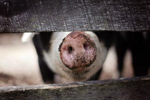 Eines unserer sauglücklichen Schweinen.